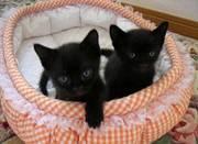 Bombay kittens for sale