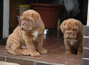 EXCELLENT Dogue De Bordeaux Puppies for Sale