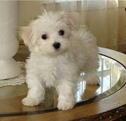 lassonnash@yahoo.com wonderful and outstanding Maltese puppies