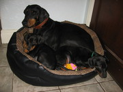 Dobermann puppies black & tan,  male & female - READY NOW!
